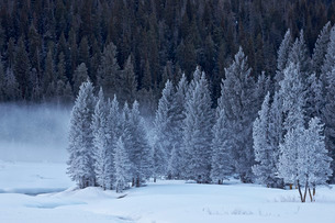 Frost-covered evergreen trees, Yellowstone National Parkの写真素材 [FYI03776357]