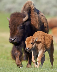 Bison (Bison bison) cow and calf in the spring, Yellowstone National Parkの写真素材 [FYI03776369]