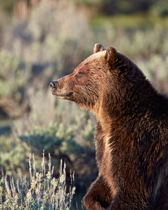 Grizzly bear (Ursus arctos horribilis), Yellowstone National Parkの写真素材 [FYI03776371]