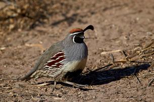 Gambel's quail (Callipepla gambelii), male, Bosque del Apache National Wildlife Refuge, New Mexico'の写真素材 [FYI03776421]