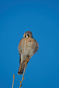 American kestrel (sparrow hawk) (Falco sparverius) female, Bosque del Apache National Wildlife Refugの写真素材 [FYI03776437]