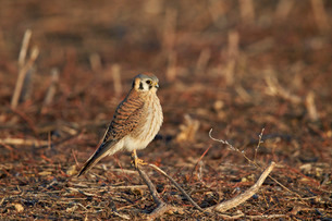 American kestrel (sparrow hawk) (Falco sparverius) female, Bosque del Apache National Wildlife Refugの写真素材 [FYI03776444]