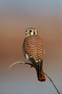 American kestrel (sparrow hawk) (Falco sparverius) female, Bosque del Apache National Wildlife Refugの写真素材 [FYI03776445]