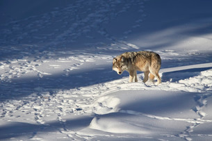 Gray wolf (Canis lupus) 870F of the Junction Butte Pack in the winter, Yellowstone National Parkの写真素材 [FYI03776448]