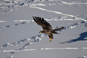 Juvenile golden eagle (Aquila chrysaetos) in flight over snow in the winter, Yellowstone National Paの写真素材 [FYI03776450]