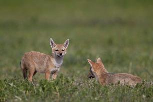Serengeti jackal (golden jackal) (Canis aureus bea) pups, Ngorongoro Crater, Tanzaniaの写真素材 [FYI03776452]