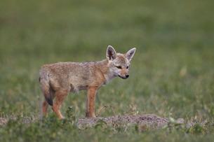 Serengeti jackal (golden jackal) (Canis aureus bea) pup, Ngorongoro Crater, Tanzaniaの写真素材 [FYI03776453]