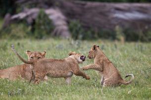 Lion (Panthera Leo) cubs playing, Ngorongoro Crater, Tanzaniaの写真素材 [FYI03776461]