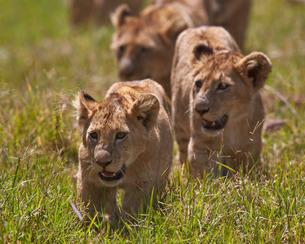 Lion (Panthera Leo) cubs, Ngorongoro Crater, Tanzaniaの写真素材 [FYI03776466]