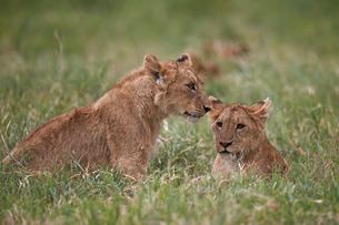 Lion (Panthera Leo) cubs, Ngorongoro Crater, Tanzaniaの写真素材 [FYI03776469]