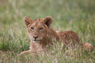 Lion (Panthera Leo) cubs, Ngorongoro Crater, Tanzaniaの写真素材 [FYI03776470]