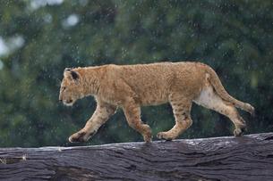 Lion (Panthera Leo) cub on a downed tree trunk in the rain, Ngorongoro Crater, Tanzaniaの写真素材 [FYI03776473]