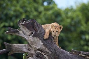 Lion (Panthera Leo) cub on a downed tree trunk in the rain, Ngorongoro Crater, Tanzaniaの写真素材 [FYI03776475]