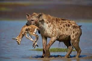 Spotted hyena (spotted hyaena) (Crocuta crocuta) with a baby Thomson's Gazelle (Gazella thomsonii),の写真素材 [FYI03776484]