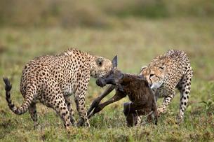 Two male cheetah (Acinonyx jubatus) killing a new born blue wildebeest (brindled gnu) (Connochaetesの写真素材 [FYI03776485]
