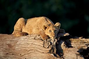 Lion (Panthera leo) cub on a downed tree trunk, Ngorongoro Crater, Tanzaniaの写真素材 [FYI03776489]