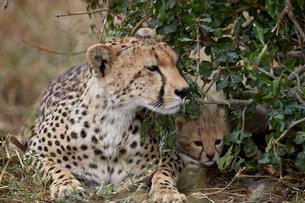 Cheetah (Acinonyx jubatus) mother and cub, about a month old, Serengeti National Park, Tanzaniaの写真素材 [FYI03776501]