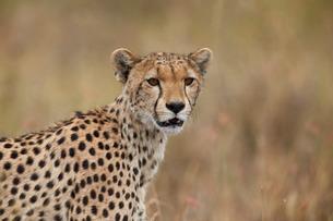 Cheetah (Acinonyx jubatus), Serengeti National Park, Tanzaniaの写真素材 [FYI03776503]