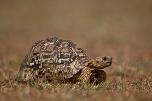 Leopard tortoise (Geochelone pardalis), Ngorongoro Conservation Area, Serengeti, Tanzaniaの写真素材 [FYI03776513]