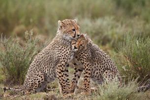 Cheetah (Acinonyx jubatus) cubs, Serengeti National Park, Tanzaniaの写真素材 [FYI03776528]