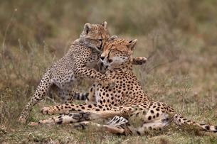 Cheetah (Acinonyx jubatus) mother and cub, Serengeti National Park, Tanzaniaの写真素材 [FYI03776535]
