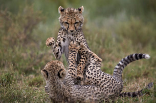 Cheetah (Acinonyx jubatus) cubs playing, Serengeti National Park, Tanzaniaの写真素材 [FYI03776538]