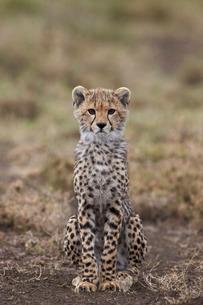 Cheetah (Acinonyx jubatus) cub, Serengeti National Park, Tanzaniaの写真素材 [FYI03776541]
