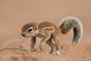 Baby Cape ground squirrel (Xerus inauris), Kgalagadi Transfrontier Park, encompassing the former Kalの写真素材 [FYI03776542]