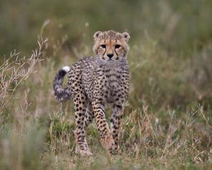 Cheetah (Acinonyx jubatus) cub, Serengeti National Park, Tanzaniaの写真素材 [FYI03776544]