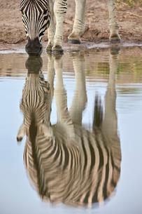 Common zebra (plains zebra) (Burchell's zebra) (Equus burchelli) reflection, Kruger National Parkの写真素材 [FYI03776563]