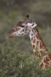 Masai giraffe (Giraffa camelopardalis tippelskirchi), Ngorongoro Conservation Area, Serengeti, Tanzaの写真素材 [FYI03776572]