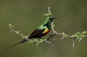 Beautiful sunbird (Cinnyris pulchella), male, Ngorongoro Conservation Area, Serengeti, Tanzaniaの写真素材 [FYI03776576]