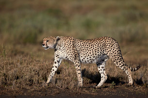 Cheetah (Acinonyx jubatus), Ngorongoro Conservation Area, Serengeti, Tanzaniaの写真素材 [FYI03776578]