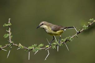 Beautiful sunbird (Cinnyris pulchella), female, Ngorongoro Conservation Area, Serengeti, Tanzaniaの写真素材 [FYI03776583]