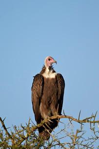 Hooded vulture (Necrosyrtes monachus), Ngorongoro Conservation Area, Serengeti, Tanzaniaの写真素材 [FYI03776584]