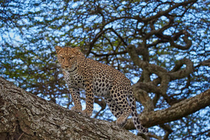 Leopard (Panthera pardus) in a tree, Ngorongoro Conservation Area, Serengeti, Tanzaniaの写真素材 [FYI03776585]