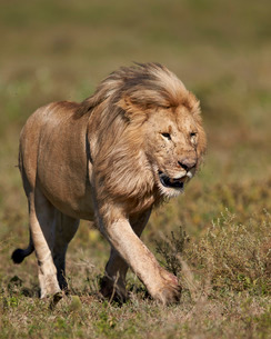 Lion (Panthera leo), Ngorongoro Conservation Area, Serengeti, Tanzaniaの写真素材 [FYI03776591]