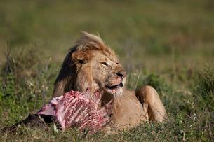 Lion (Panthera leo) at a wildebeest carcass, Ngorongoro Conservation Area, Serengeti, Tanzaniaの写真素材 [FYI03776592]