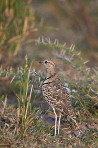 Two-banded courser (double-banded courser) (Rhinoptilus africanus), Ngorongoro Conservation Area, Seの写真素材 [FYI03776593]