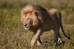 Lion (Panthera leo), Ngorongoro Conservation Area, Serengeti, Tanzaniaの写真素材 [FYI03776594]