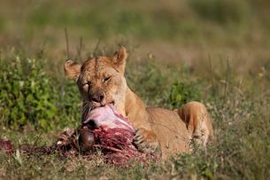 Lioness (Panthera leo) at a wildebeest carcass, Ngorongoro Conservation Area, Serengeti, Tanzaniaの写真素材 [FYI03776596]
