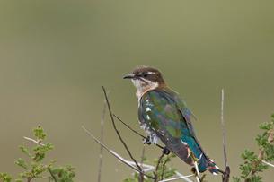 Diederik cuckoo (Chrysococcyx caprius), male, Ngorongoro Conservation Area, Serengeti, Tanzaniaの写真素材 [FYI03776597]