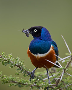 Superb starling (Lamprotornis superbus) with an insect, Ngorongoro Conservation Area, Serengeti, Tanの写真素材 [FYI03776598]