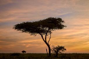 Acacia tree and clouds at dawn, Ngorongoro Conservation Area, Serengeti, Tanzaniaの写真素材 [FYI03776600]