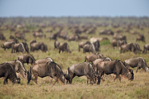 Blue wildebeest (brindled gnu) (Connochaetes taurinus) herd, Ngorongoro Conservation Area, Serengetiの写真素材 [FYI03776603]