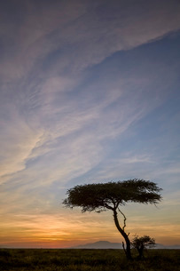 Acacia tree and clouds at sunrise, Ngorongoro Conservation Area, Serengeti, Tanzaniaの写真素材 [FYI03776604]