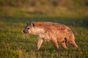 Spotted hyena (spotted hyaena) (Crocuta crocuta), Ngorongoro Conservation Area, Serengeti, Tanzaniaの写真素材 [FYI03776605]