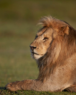 Lion (Panthera leo), Ngorongoro Conservation Area, Serengeti, Tanzaniaの写真素材 [FYI03776606]