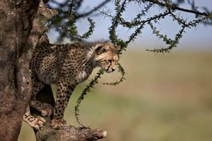 Cheetah (Acinonyx jubatus) cub in an acacia tree, Ngorongoro Conservation Area, Serengeti, Tanzaniaの写真素材 [FYI03776609]