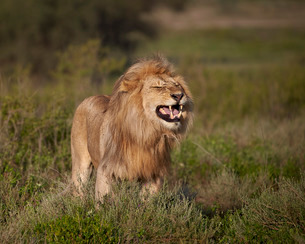 Lion (Panthera leo) demonstrating the flehmen response, Ngorongoro Conservation Area, Serengeti, Tanの写真素材 [FYI03776610]
